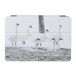 Harriman State Park, Idaho. USA. Trumpeter Swans iPad Mini Cover