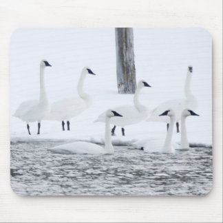 Harriman State Park, Idaho. USA. Trumpeter Swans Mouse Mat