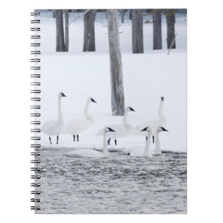 Harriman State Park, Idaho. USA. Trumpeter Swans Notebooks