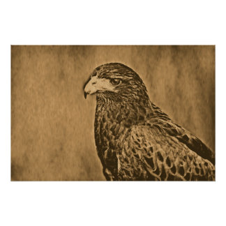 Harris Hawk Bird of Prey Close Up Poster