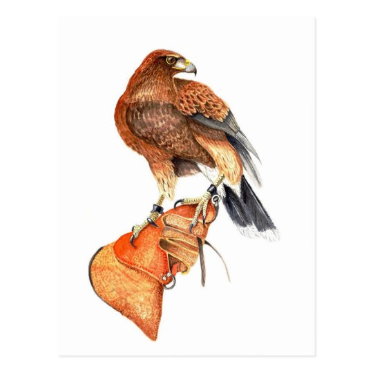 Harris hawk on Glove postcard