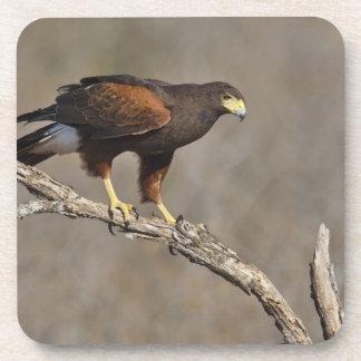 Harris's Hawk perched raptor Beverage Coasters