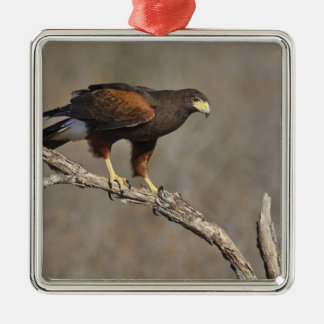 Harris's Hawk perched raptor Christmas Ornament