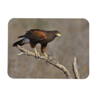 Harris's Hawk perched raptor Magnet