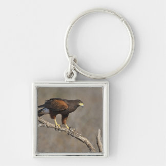 Harris's Hawk perched raptor Silver-Colored Square Key Ring
