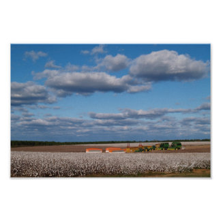 Harvest Time in a Cotton Field Canvas or Poster