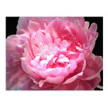 Hatched Pink Peony Postcard
