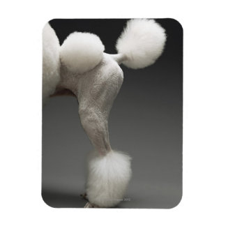 Haunches of Poodle, on grey background Magnet