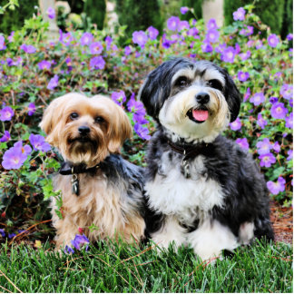 Havanese - Lola Yorkie - Molly Photo Cut Out