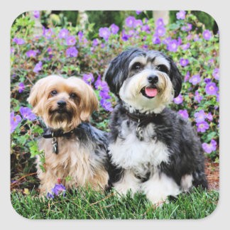 Havanese - Lola & Yorkie - Molly Square Sticker