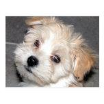 Havanese Puppy Postcard