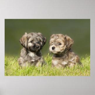 Havanese Puppys (7 Weeks) Poster