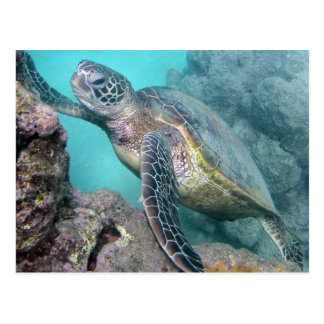 Hawaii Green Sea Turtle Postcard