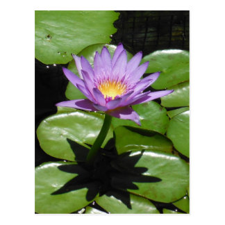Hawaii Lotus Flower Postcard