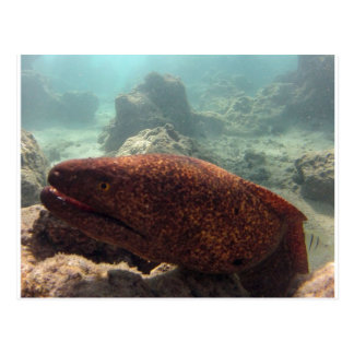 Hawaii Moray Eel Postcard