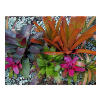 Hawaiian Bromeliads Print