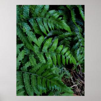 Hawaiian Ferns Poster