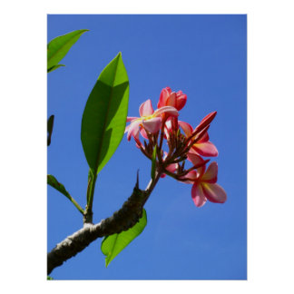 Hawaiian Frangipani Poster