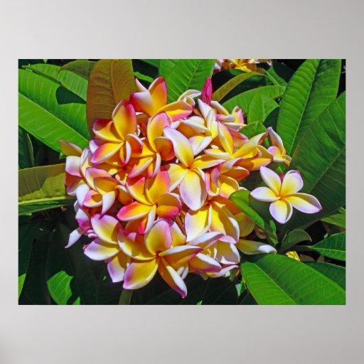 Hawaiian Frangipani Posters