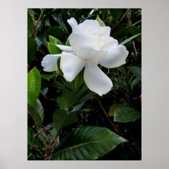 Hawaiian Gardenia Poster