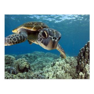 Hawaiian Green Sea Turtle Post Card
