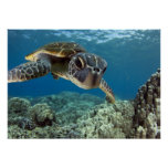 Hawaiian Green Sea Turtle Poster