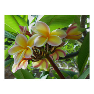 Hawaiian Plumeria Posters