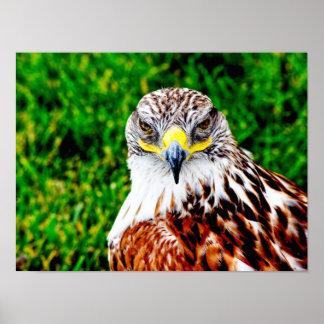 Hawk Eyes -- art print