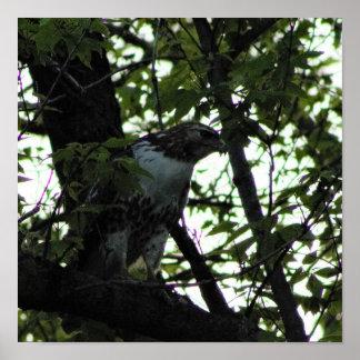 Hawk in a Tree Poster