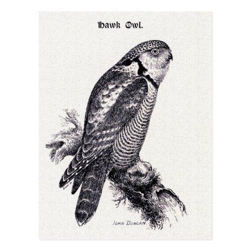 Hawk Owl Vintage Bird Illustration Post Card
