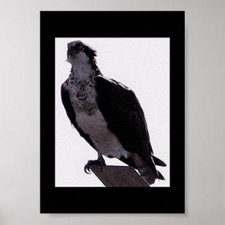 Hawk Photo Poster