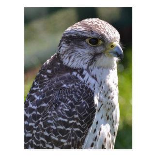 Hawk Postcard
