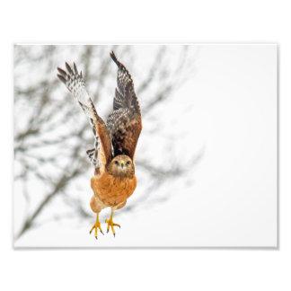 Hawk Taking Flight Photo