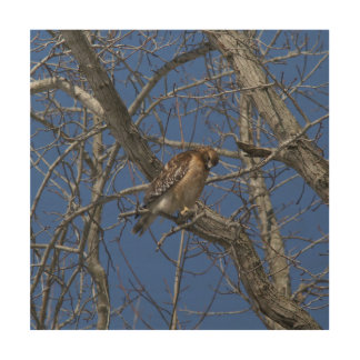 Hawk, Wood Photo Print. Wood Print
