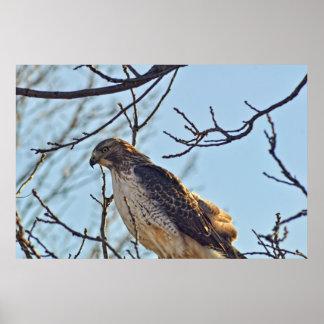 Hawks Eye Poster