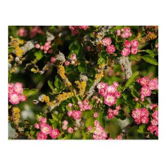 Hawthorn blossom postcard