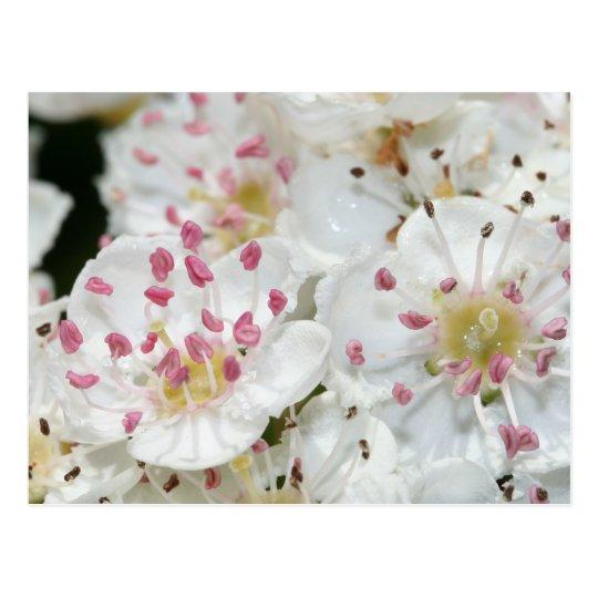 Hawthorn Flowers Postcard