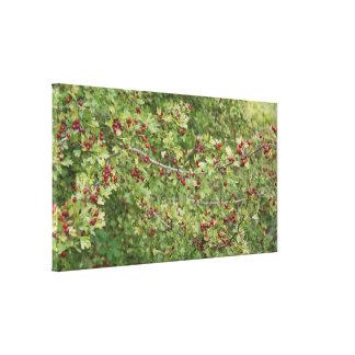 Hawthorn Photo B Canvas Print