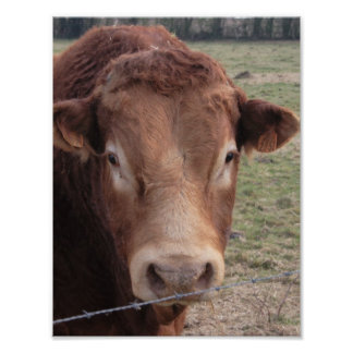 Head of a Limousin Bull Poster