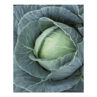 Head of cabbage with drops of water on it, poster