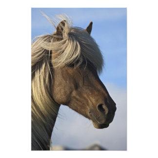 Head of Icelandic horse, Iceland Photo Print