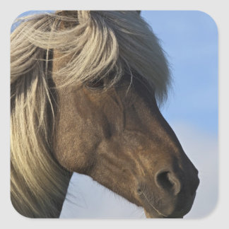 Head of Icelandic horse, Iceland Square Sticker