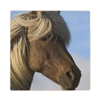 Head of Icelandic horse, Iceland Wood Coaster
