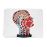 Head Section Model Rectangular Photo Magnet