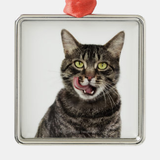 Head shot of a male domestic tabby cat licking christmas ornament