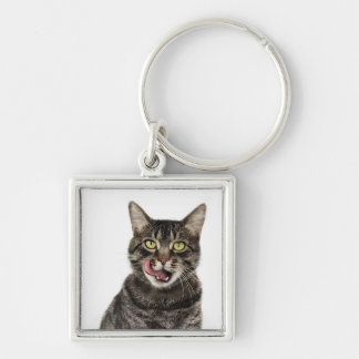 Head shot of a male domestic tabby cat licking key ring