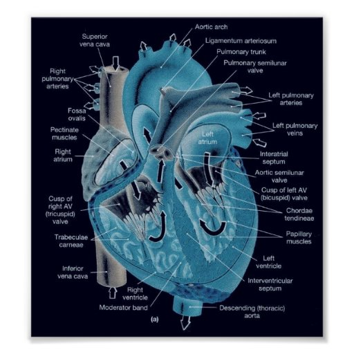 Heart anatomy posters