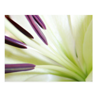 Heart of the Lily Fine Art Floral Photography Postcard