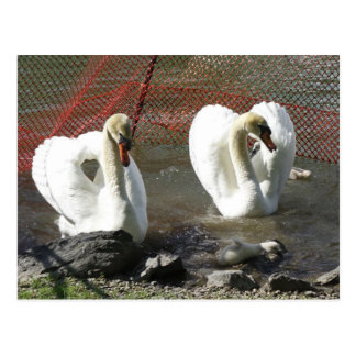 Heart Swans and Babe Postcard
