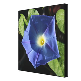 Heavenly Blue Morning Glory Stretched Canvas Print